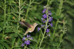 hummingbird_2_small[1]
