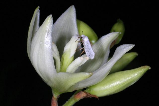 Yucca Moth Range Pollination Bio...