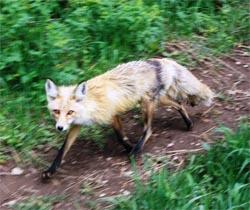 fox_ecologyoffear[1]-4