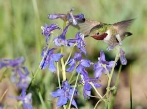hummingbird2_1367011886
