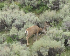 mule-deer-eating_pollination[1]-1