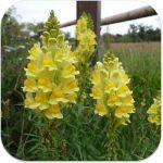 Linaria_vulgaris