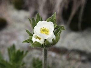 anemone_narciss_1370202690[1]