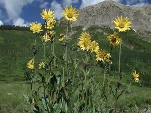 aspensunflower2_1367011359[1]