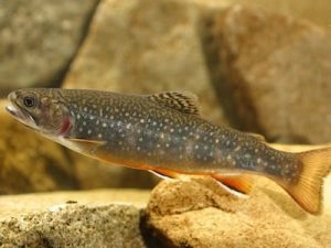brooktrout_1372044893[1]