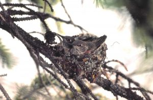 Broad-tailed hummingbird chicks. Photo by Nick Waser